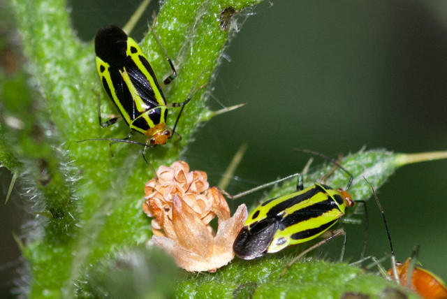 Fourlined Plant Bug - Black and Green