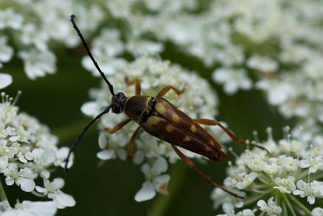 Flower Longhorn Beetle on Queen Anne's Lace
