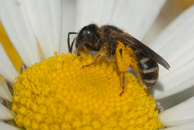 Bee Collecting Pollen From Daisy