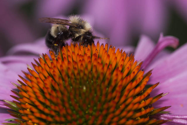 A Bee Feeding on a Coneflower