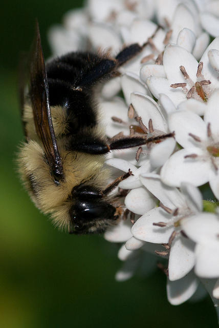 A Bumblebee Feeding on Small White Flowers