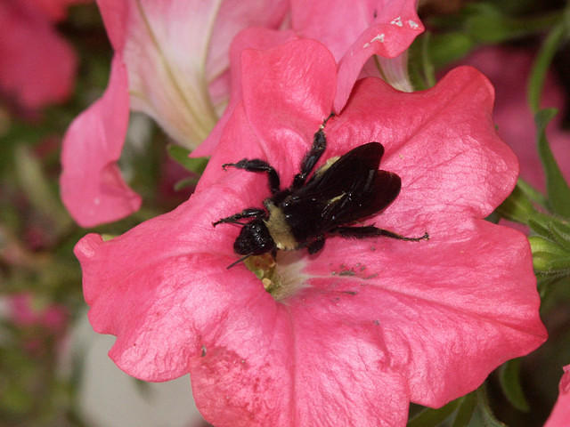 A Bumblebee on a Pink Petunia