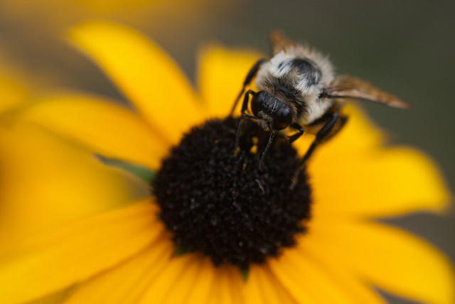 Carpenter Bee Feeding on Black-Eyed Susan Flower