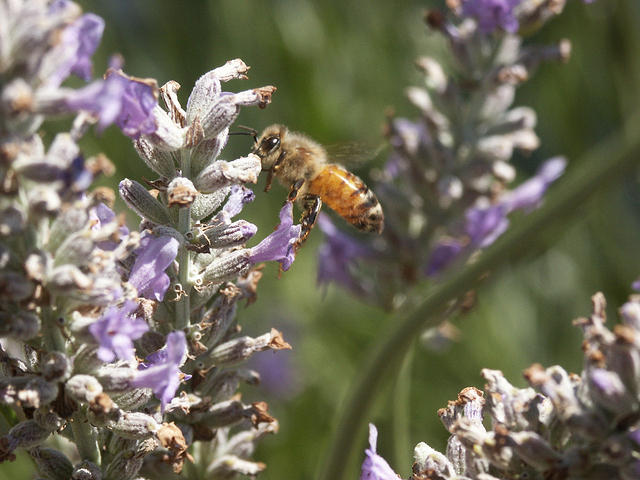 Bee Flying by Lavender Flower