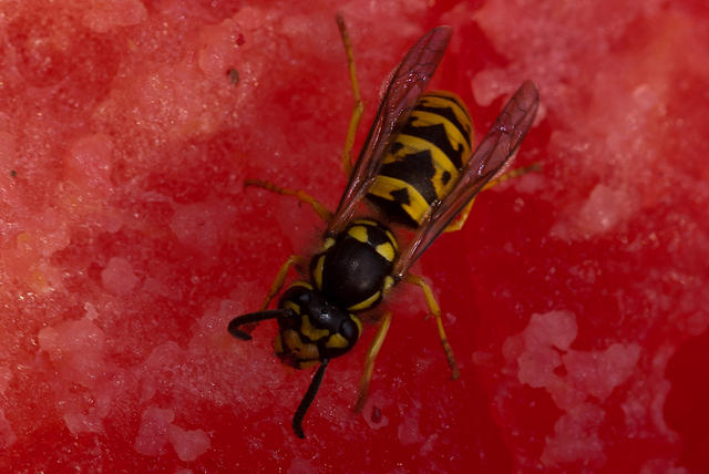 Yellow Jacket Attracted To Watermelon