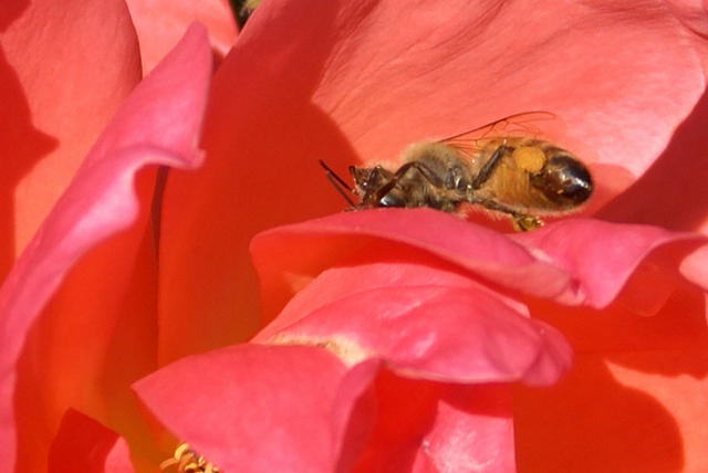 A Honey Bee Crawling on an Orange 'All That Jazz' Rose.