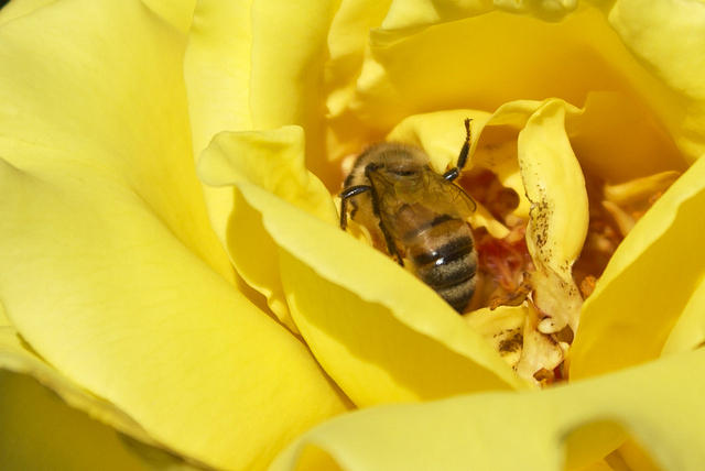 A Honey Bee in Yellow Rose Petals