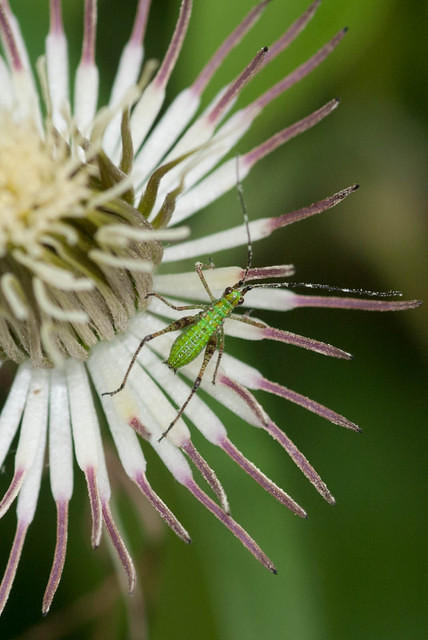 Green Katydid Nymph on a Clematis