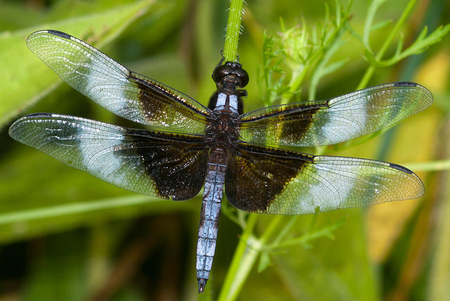 Black and Blue Widow Skimmer Dragonfly