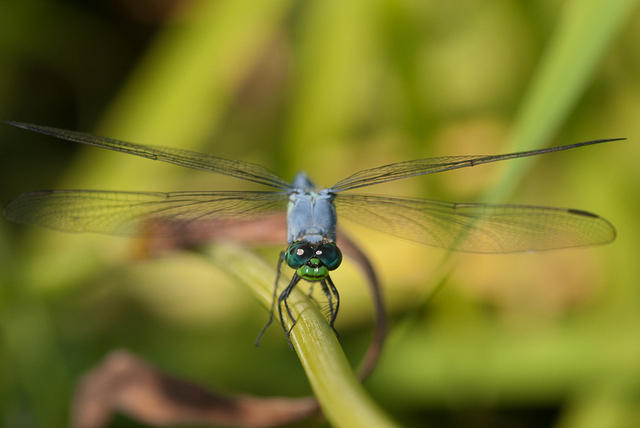 Blue Damselfly with Green Face