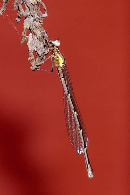 Damselfly on a Red Background