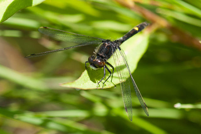 Dot Tailed Whiteface Dragonfly