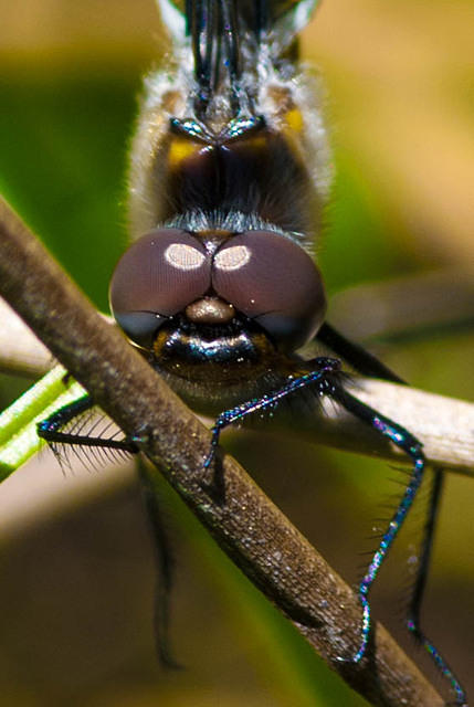 Close up of a Female Blue Dasher Dragonfly