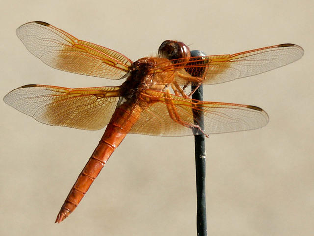 Orange Dragonfly on Car Antenna