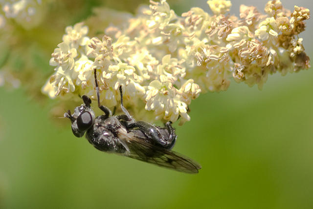 Black Soldier Fly on Flowering Rhubarb