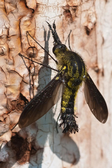 Black and Yellow Scaly Bee Fly