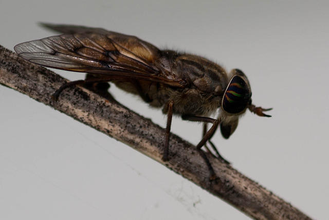 Horse Fly on Branch - Close Up