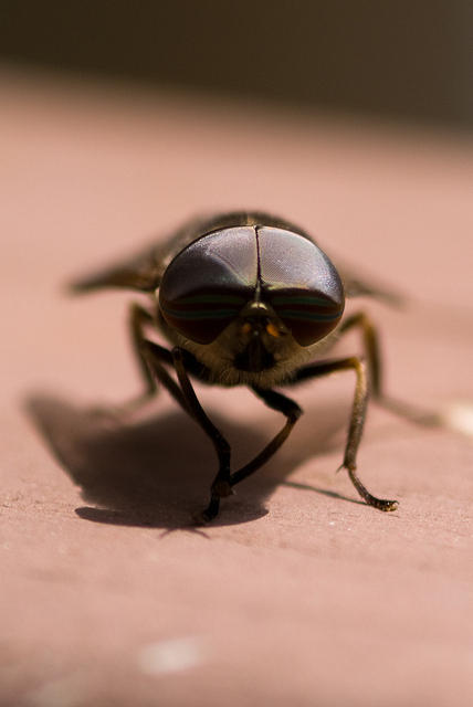 Large Eyes of a Horse Fly
