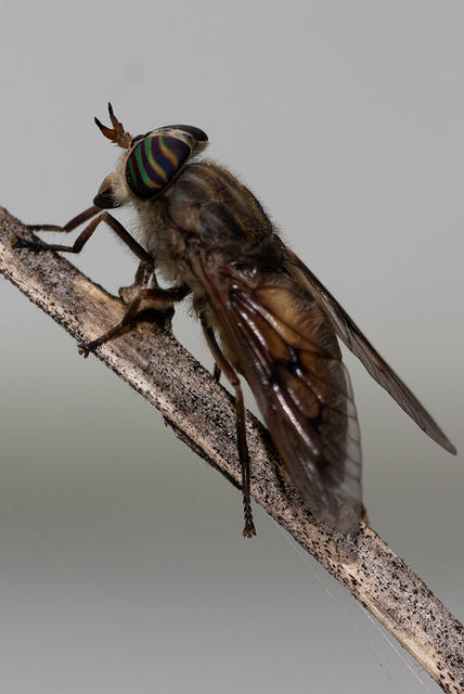 Horsefly on a Branch with Rainbow Eyes