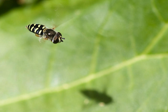 A Macro of a Syrphid Fly (Hover Fly)