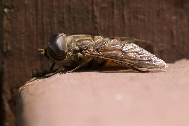 Side View of a Horse Fly