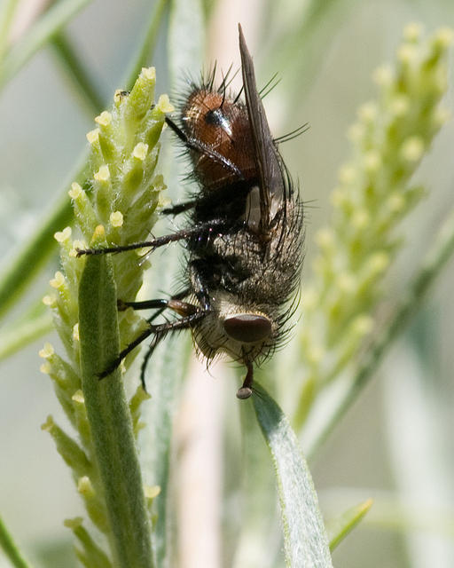 Tachinid Fly on a Plant