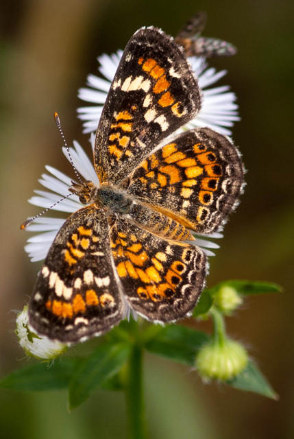 A Pearl Crescent Butterfly - Black and Orange