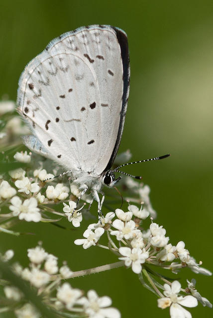 Butterfly -Black and White Summer Azure