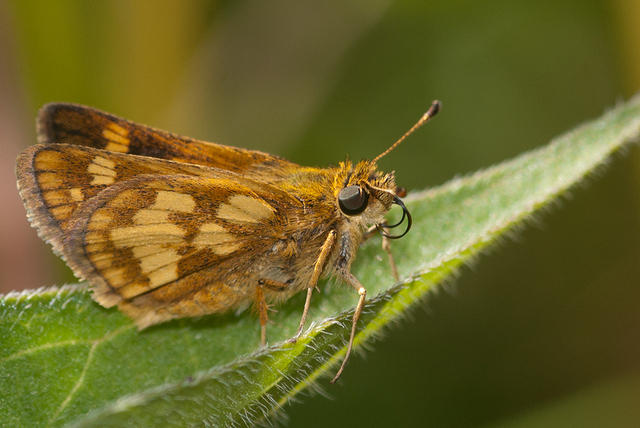 Butterfly - Brown and Tan Peck's Skipper