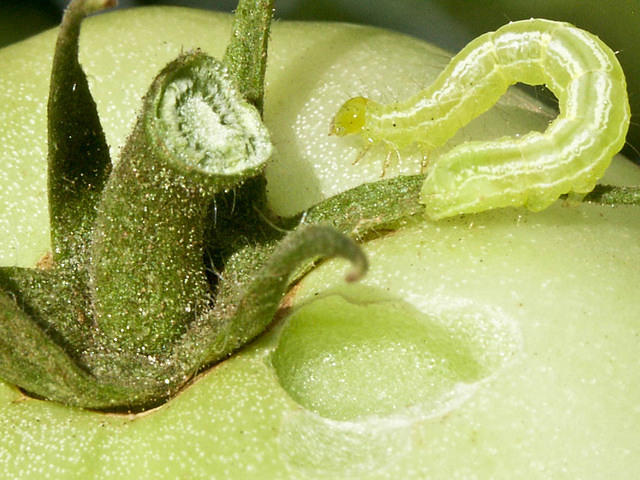 Cabbage Looper - Inchworm on Green Tomato Stem