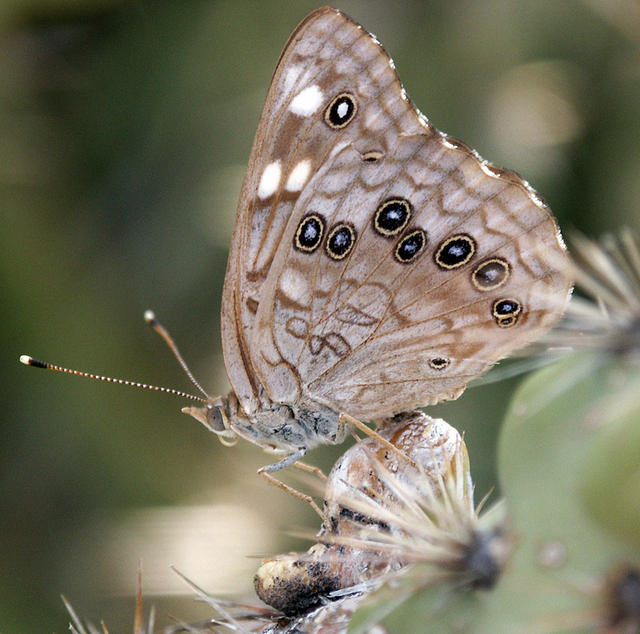 Hackberry Emperor Butterfly on a Cactus