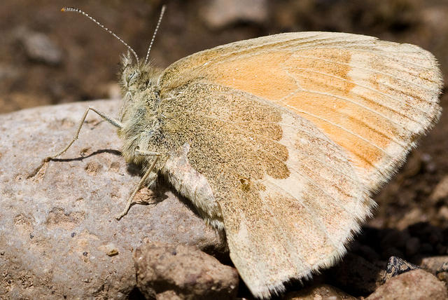 Common Ringlet Butterfly on a Rock