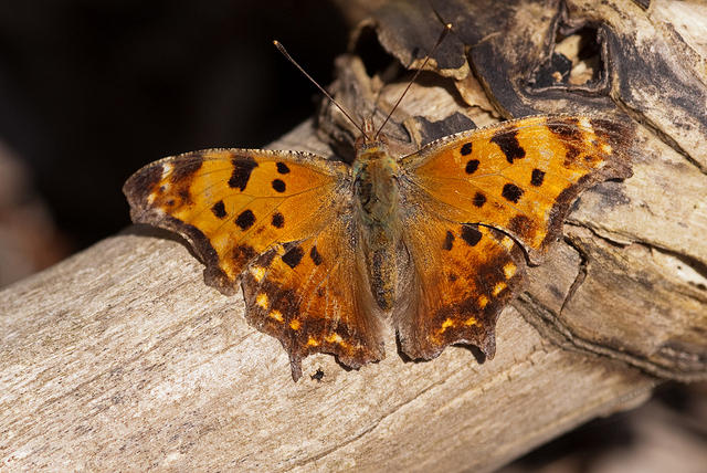 Eastern Comma Butterfly - Orange Wings with Black Spots