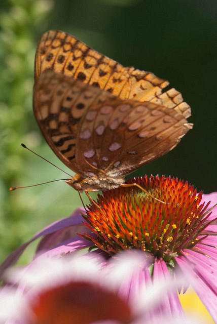 Great Spangled Fritillary on Coneflower