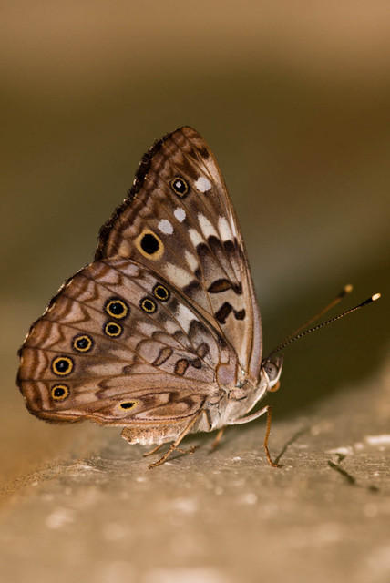 Hackberry Emperor Butterfly in Arkansas