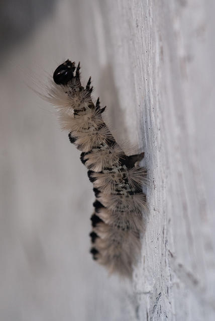 Black and White Hairy Caterpillar Standing Up