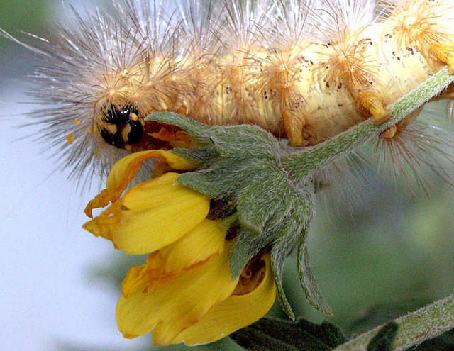 Yellow Hairy Caterpillar on a Flower