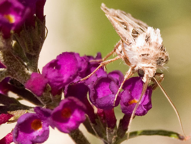 Moth on a Butterfly Bush