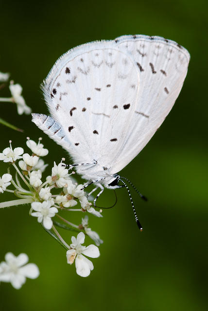 Summer Azure Butterfly - White with Black Spots