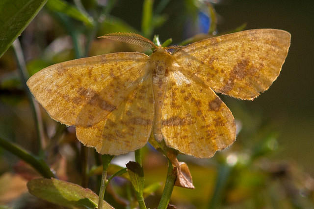 Moth - Yellow with Brown Spots