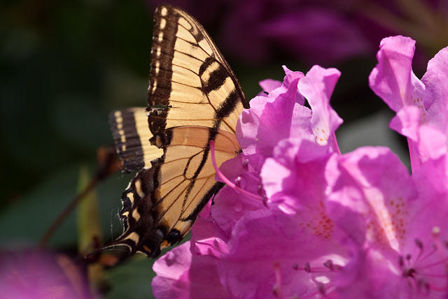 Yellow Swallowtail in a Pink Rhodendrum