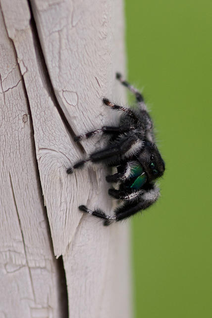 Black and White Jumping Spider on Fence