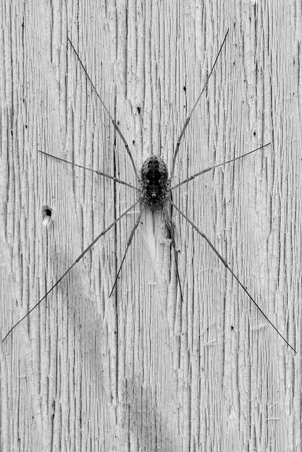 Daddy Longlegs (Harvestman) - Black and White