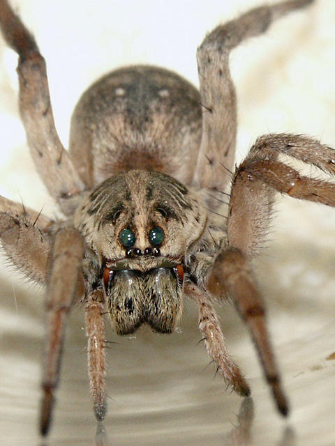 New Mexico - Wolf Spider