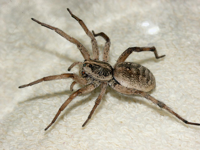 Side View of a Wolf Spider