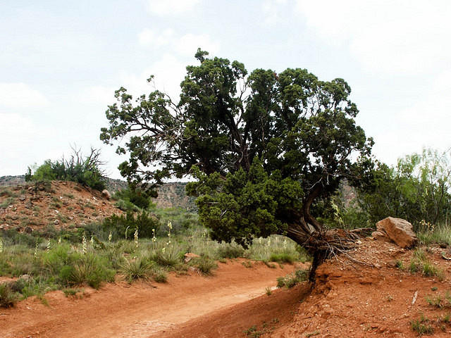 A Tree Growing Sideways in Palo Duro Canyon