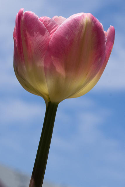 Pink and White Angelique Tulip