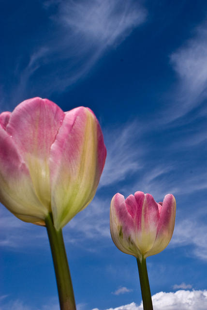 Whtie and Pink AngeliqueTulips with Blue Sky