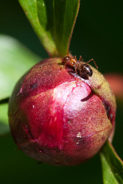 Ant Crawling on Peony Flower