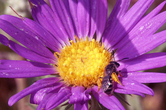 Bee On a Purple Aster Wildflower